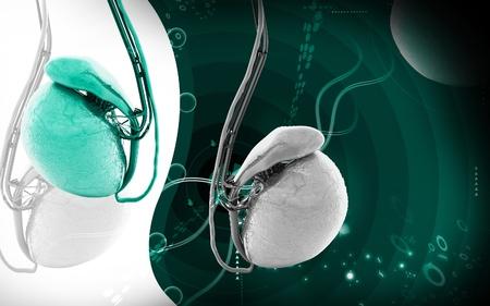apparato riproduttore: Illustrazione digitale dei testicoli in colore di sfondo Archivio Fotografico