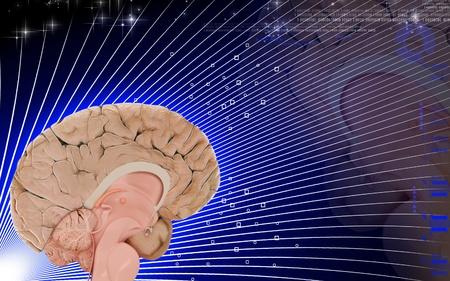 Digital illustration of  brain in colour  background Stock Illustration - 10411372