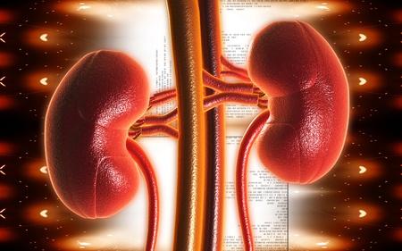 vasos sanguineos: Ilustración digital de riñón en el color de fondo