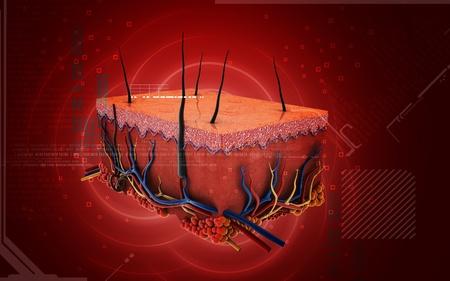 vasos sanguineos: Ilustración digital de la piel en el color de fondo
