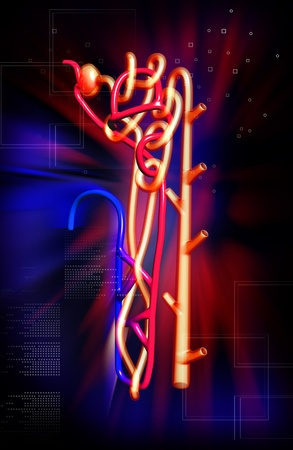 electrolytes: Digital illustration of  nephron   in  colour background  Stock Photo