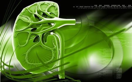 Kidney  Digital illustration of kidney in colour background   illustration