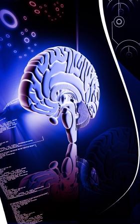 oblongata: Digital illustration of  brain in colour  background   Stock Photo