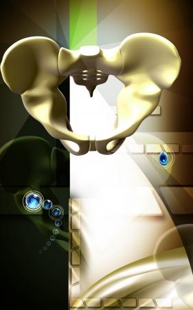 Digital illustration  of pelvic girdle in    colour background Stock Illustration - 13807273