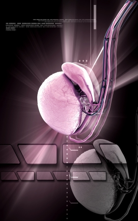 urethra: Digital illustration   of Testicles in colour background  Stock Photo