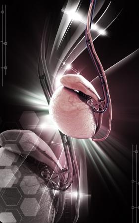 scrotum: Illustrazione digitale di testicoli in colore di sfondo