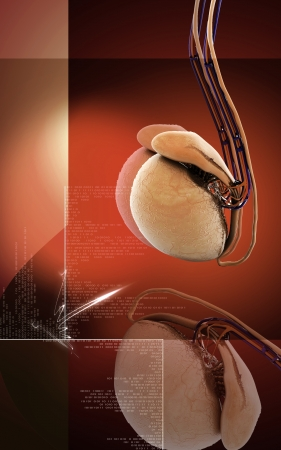 Digital illustration of  testicles in colour  background  Stock Illustration - 17213162