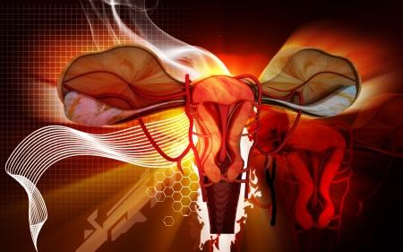 fimbriae: Digital illustration of  Uterus  in  colour  background