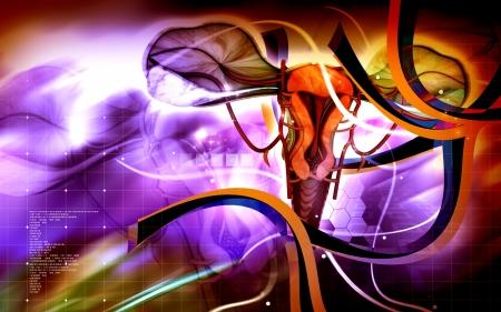 myometrium: Digital illustration of  Uterus  in  colour  background