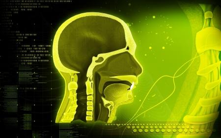 pharynx: Digital illustration of Pharynx in colour background