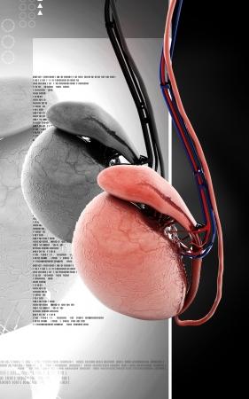 testicles: Ilustraci?n digital de los test?culos en el color de fondo Foto de archivo