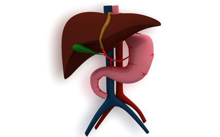 Digital illustration of  liver  in  isolated background   illustration