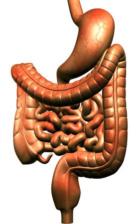 Digital illustration of human digestive system in colour background Stock Illustration - 24064057