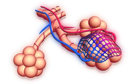alveolos pulmonares: Ilustración digital de los alvéolos Foto de archivo