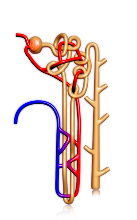 electrolytes: Digital illustration of  nephron