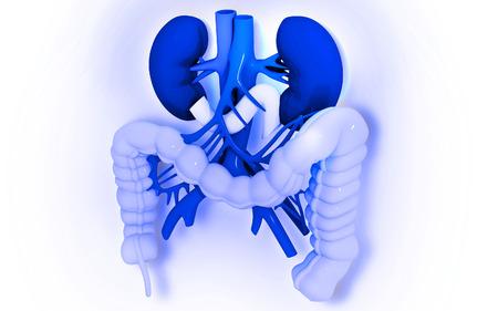 large intestine: Digital illustration of  Intestine in colour    Stock Photo