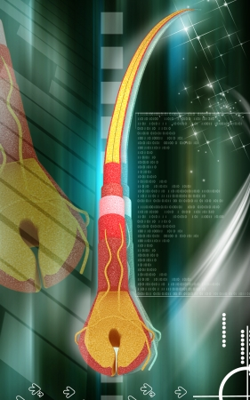 Digital illustration of Human hair structure anatomy in colour  illustration