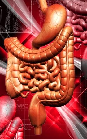 sistema digestivo: Ilustración digital del sistema digestivo humano en color de fondo