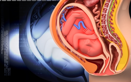 Digital illustration of  Pregnant anatomy with fetus in colour   Stock Photo