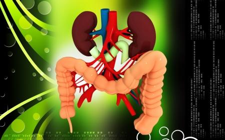 ileum: Digital illustration of  Intestine in colour  background