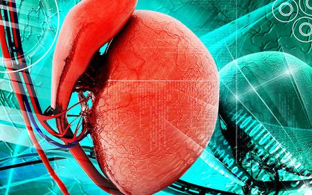 urethra: Digital illustration of  testicles in colour  background