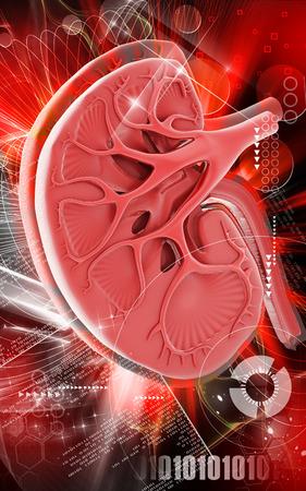 Digital illustration of  kidney in colour  background Stock Illustration - 26071190
