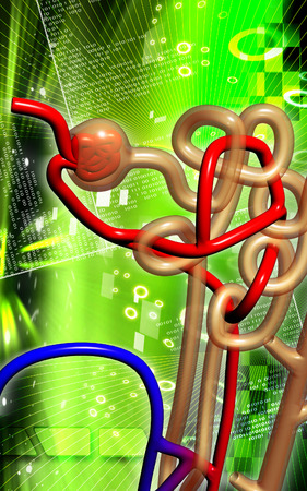 Digital illustration of  nephron   in  colour background  illustration