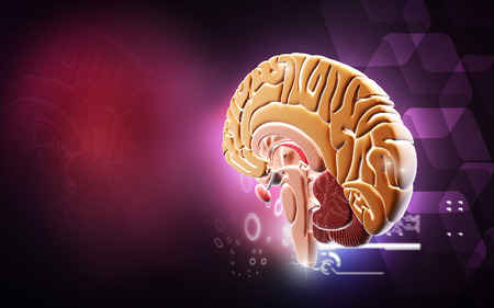 spinal cord: Digital illustration of  brain in colour  background   Stock Photo