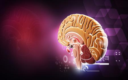 medula espinal: Ilustración digital del cerebro en el color de fondo
