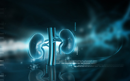 urethra: Digital illustration of  kidney in colour  background Stock Photo