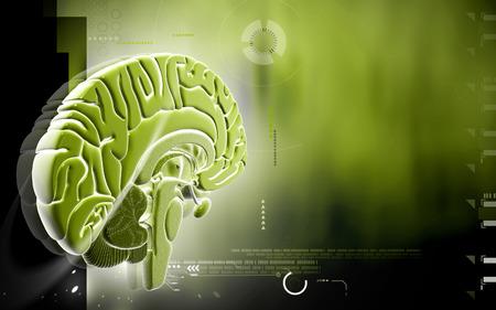medulla oblongata: Digital illustration of  brain in colour  background