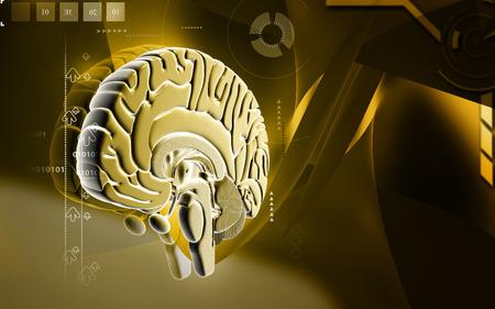 hypothalamus: Digital illustration of  brain in colour  background