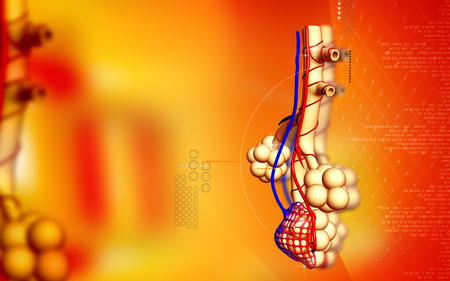 alveoli: Digital illustration of  alveoli  in  colour  background