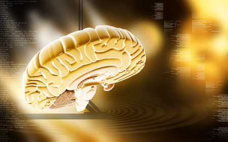 medulla: Digital illustration of  brain in colour  background