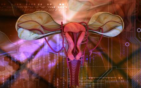 endometrial: Ilustraci�n digital de �tero en fondo de color