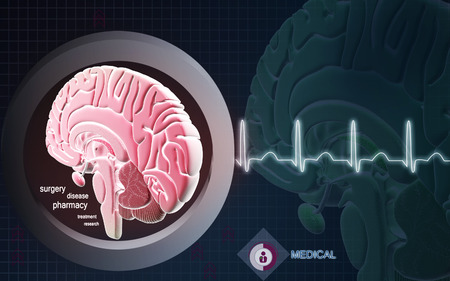 medulla: Digital illustration of  brain in colour  background