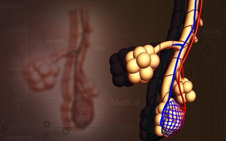 alveolos: Ilustraci�n digital de alv�olos en color de fondo