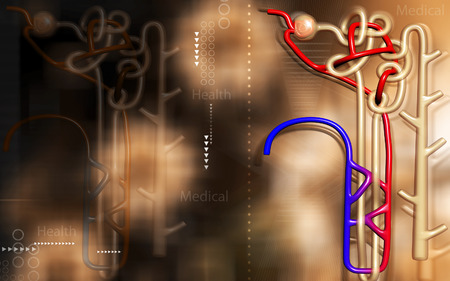 nephron: Digital illustration of  nephron   in  colour background