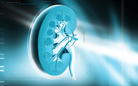 cortex: Digital illustration of   Cross section kidney in colour  background