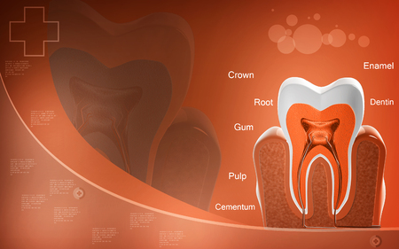 cross section: Digital illustration of  teeth cross section   in  colour  background