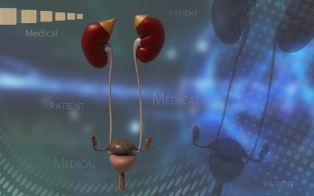 urinary tract: Digital illustration of Kidneys and urinary bladder in colour background