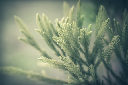 Close up of pine branch, soft focus and vintage process. Reklamní fotografie