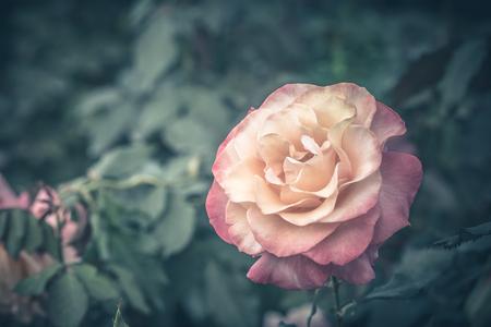 Close up of vintage rose flower.