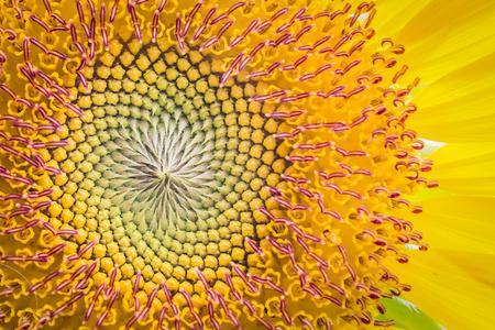 sunflower seeds: Close up of sun flower