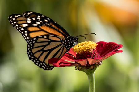 Monarch on Zinnia Stock Photo