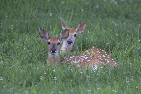 Fawns in the grass Stock Photo