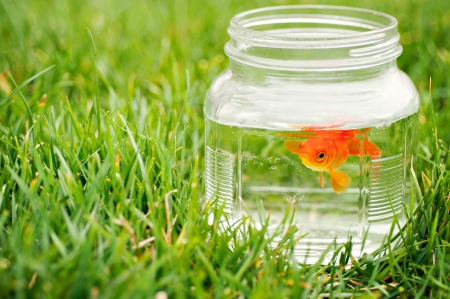 Goldfish in jar outside in grass Stock Photo - 15710792