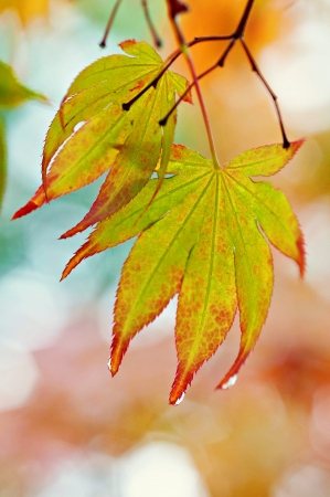 japenese: Leaves on tree brance with raindrops on tips