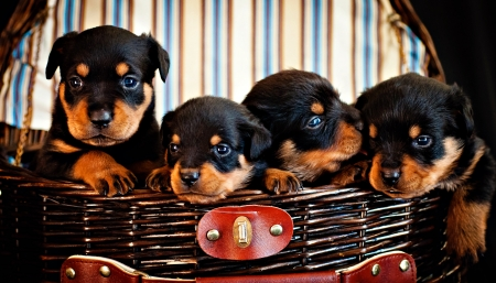 Four Rottweiler Puppies in Pinic Basket Stock Photo