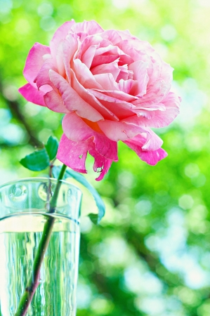 Beautiful pink rose in vase with water Stock Photo